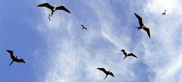 St Kitts & Nevis Ecology & Nature Frigate Birds